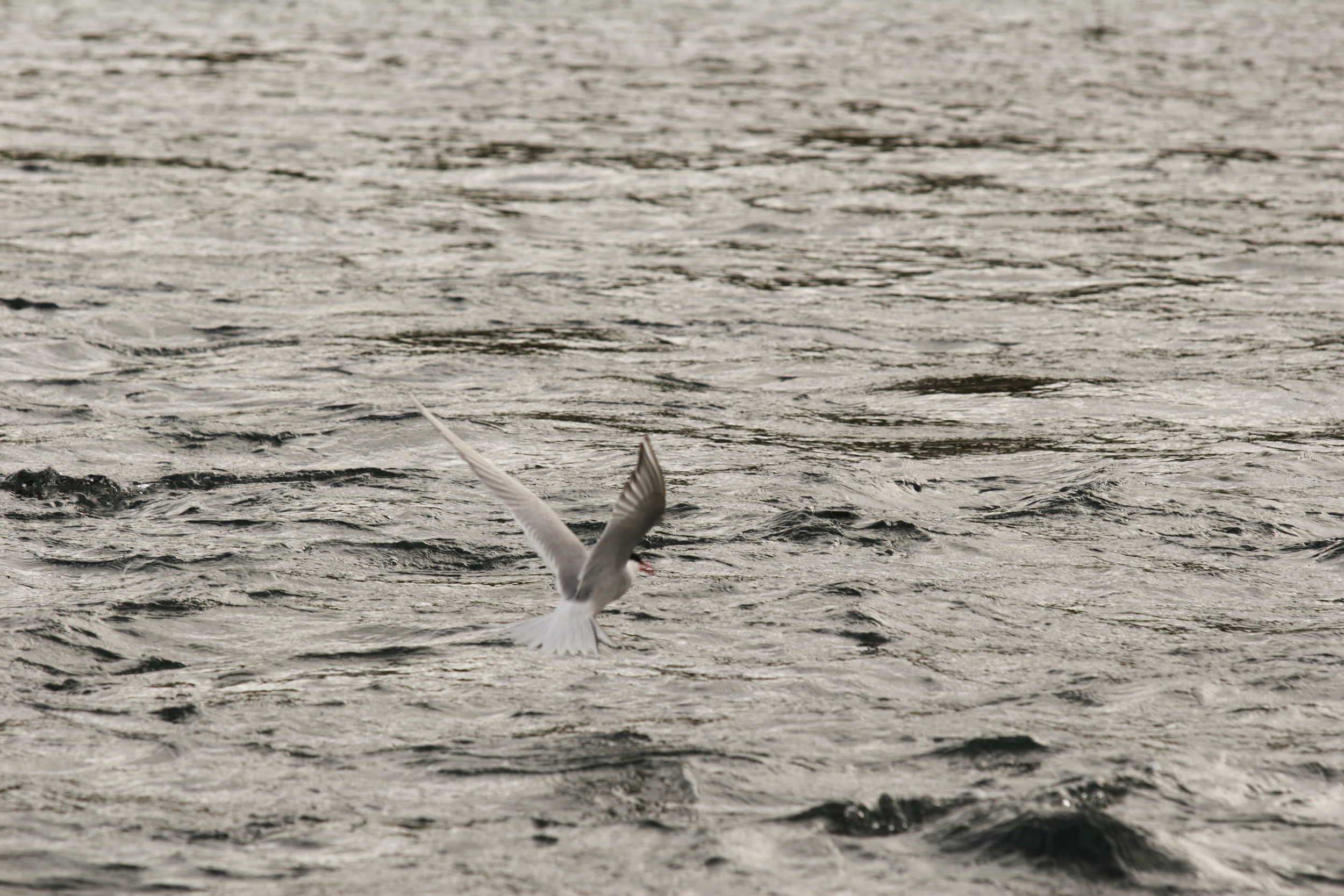 Arctic terns in Hofsá.JPG