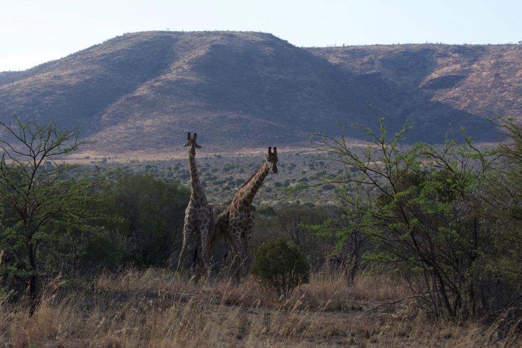 Giraffes Pilanesberg Oct 3, 2016, 12-04 AM (1).jpg