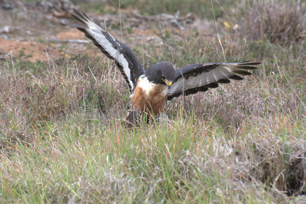 Hawk at Shamwari Game Reserve (1).jpg