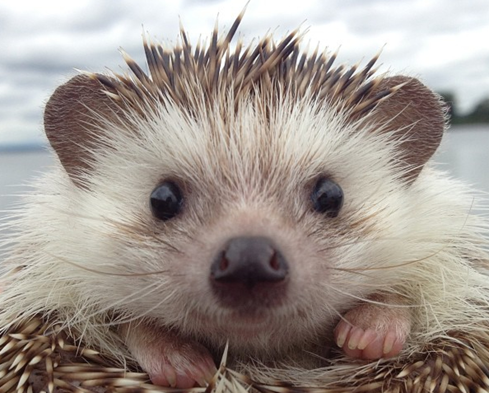 biddy the hedgehog