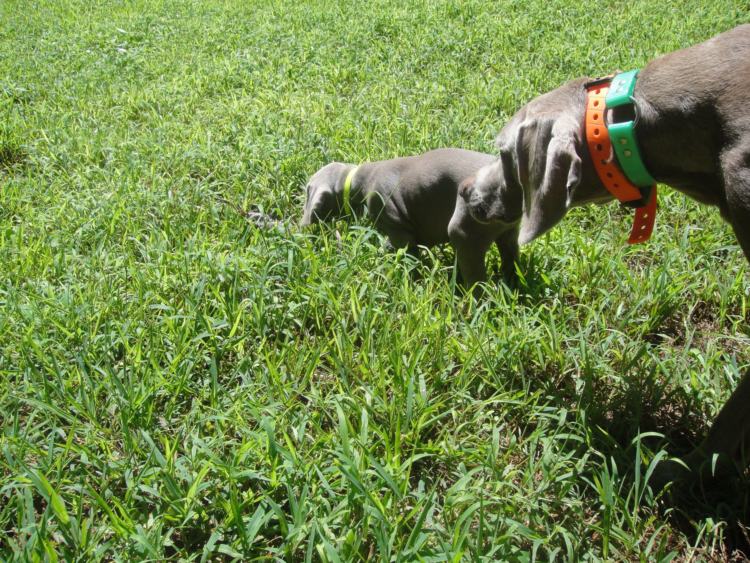 Using a well trained adult dog to help bring out a young pups hunting instinct, will provide you with a calmer adult hunting dog