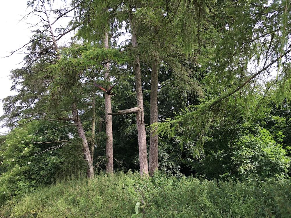 Skye på vej ud af skovbrynet. Foto: Andrea Bak