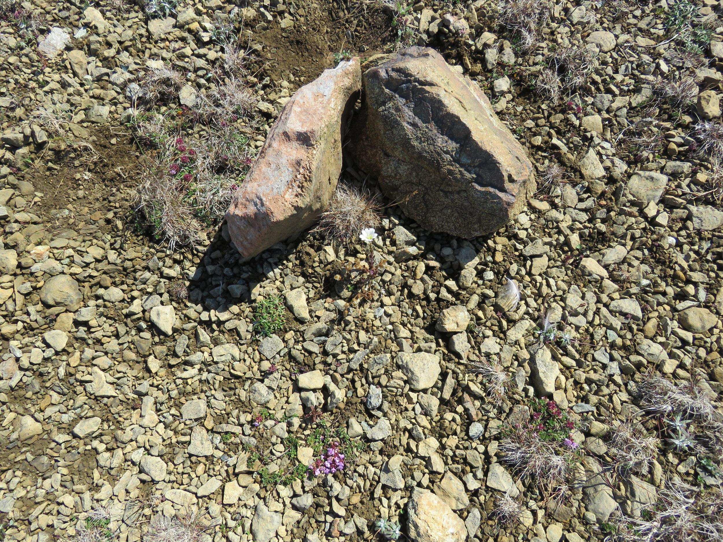 Den lille hvide blomst mellem de to sten er Shetland Mouse Ear.