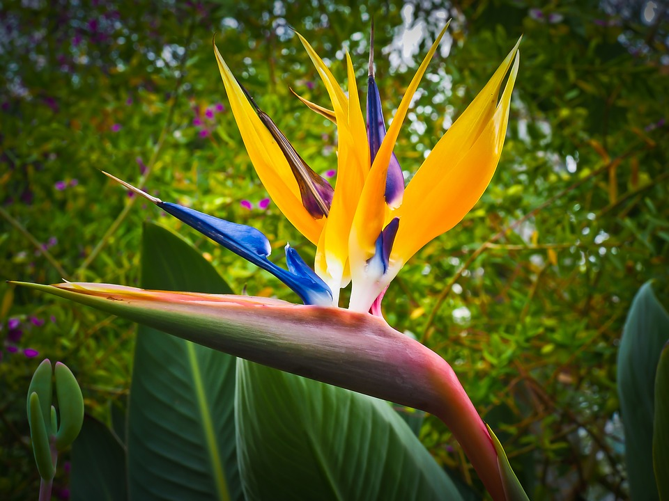 bird-of-paradise-flower-1359718_960_720.jpg