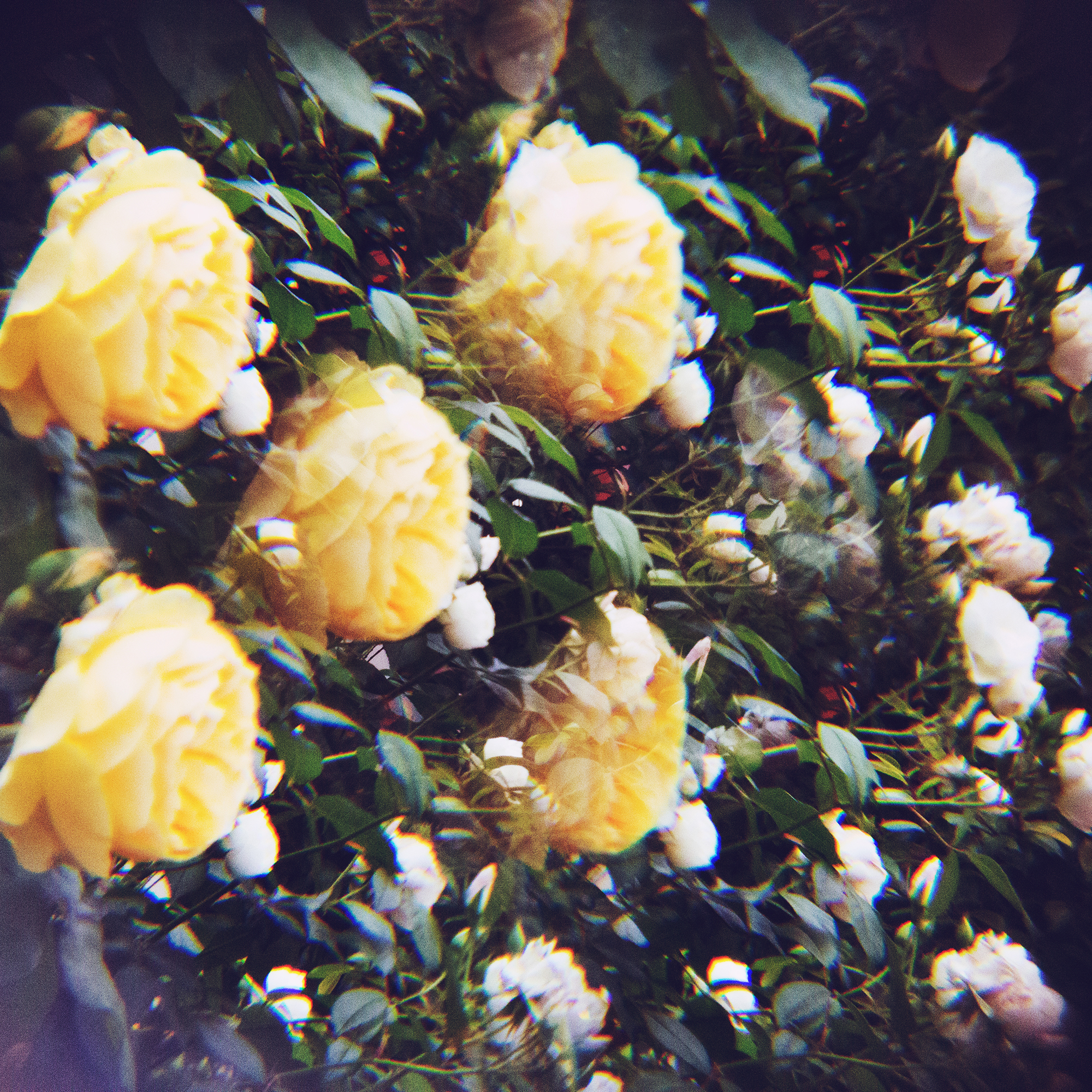 holga lens flowers (21 of 30).jpg
