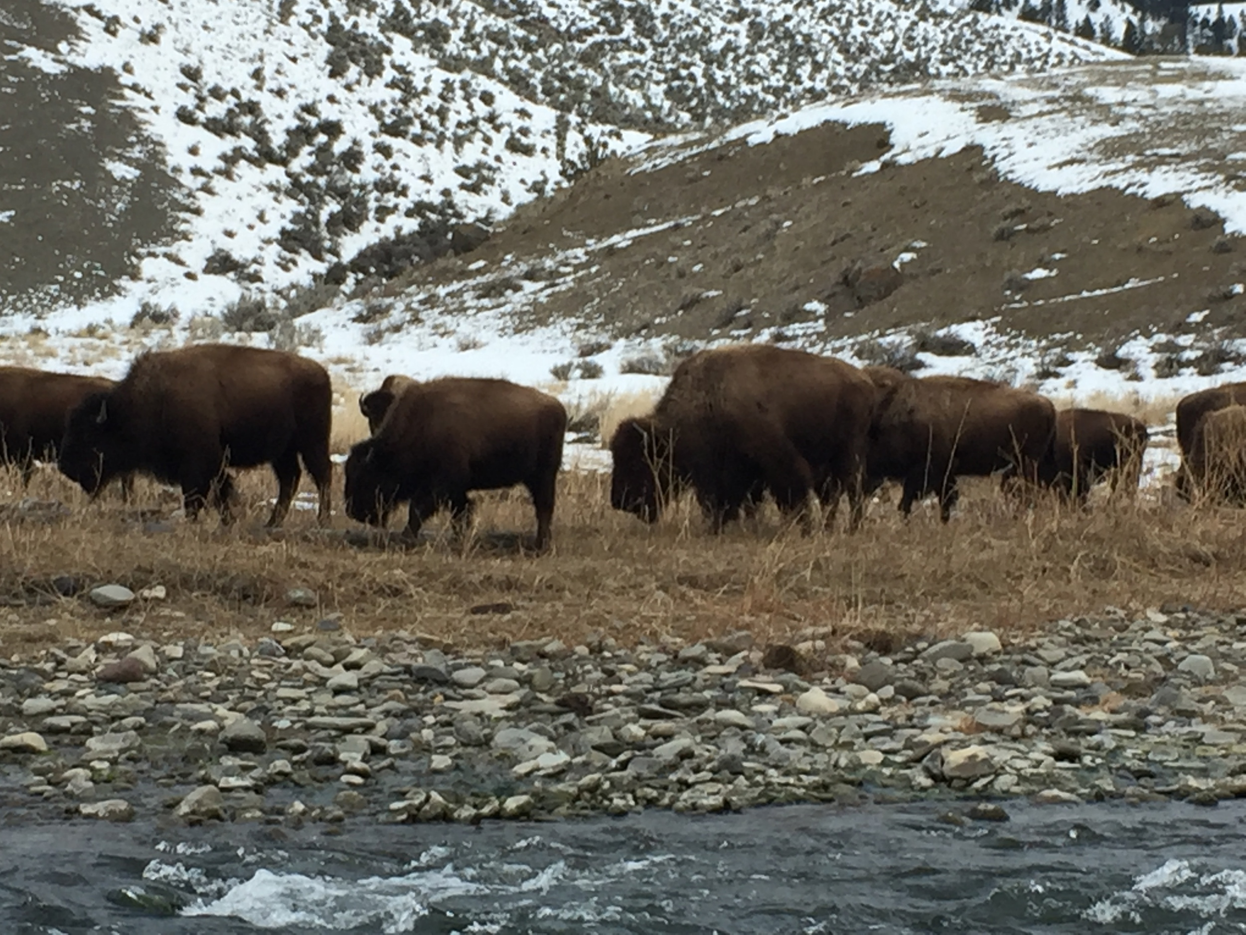 A group of around 20 bison feed next to the Gardiner River in Yellowstone National Park.
