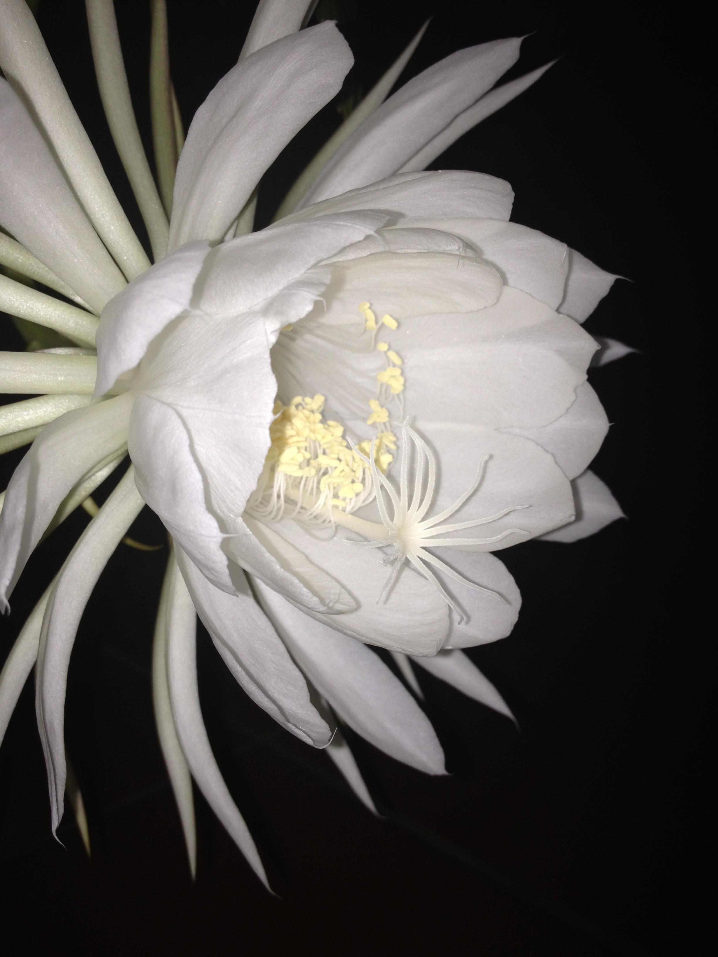 Botanical genus-epiphyllum oxypetallum, night blooming cereus