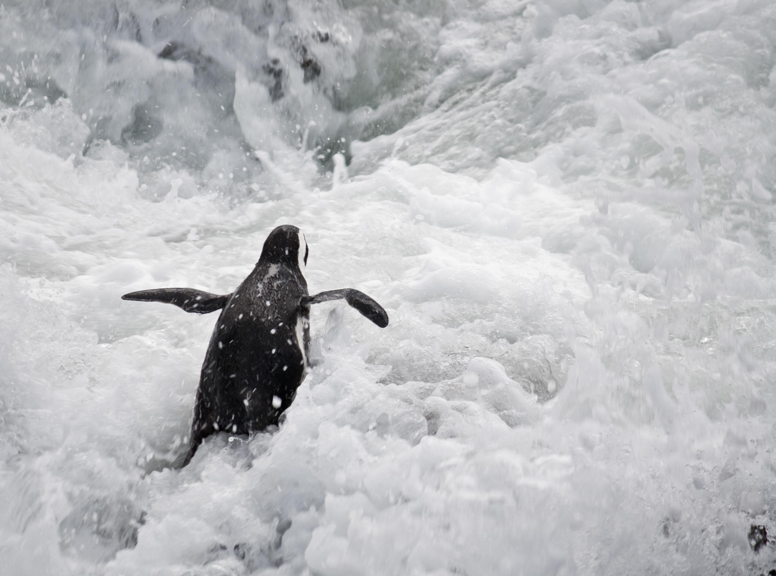 African Penguin by Bart Hiddink, zoutedrop on Flickr