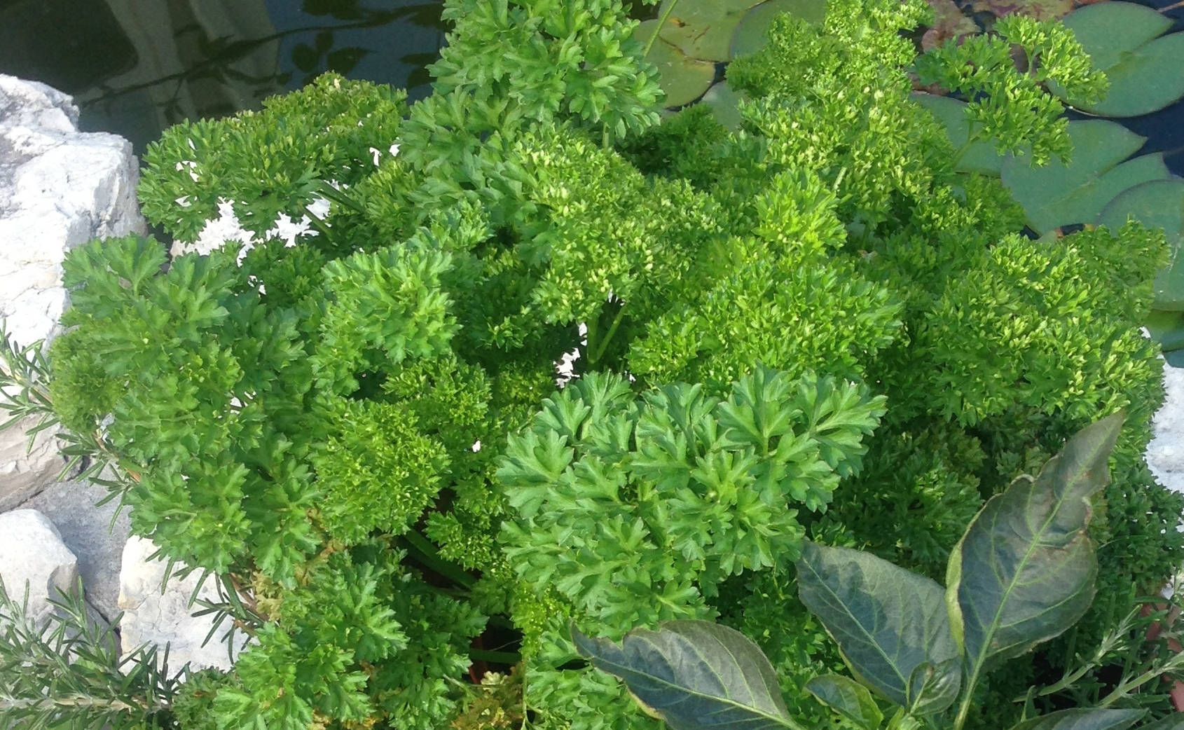 Parsley. Perfect garnish for dinner plates & tasty too.