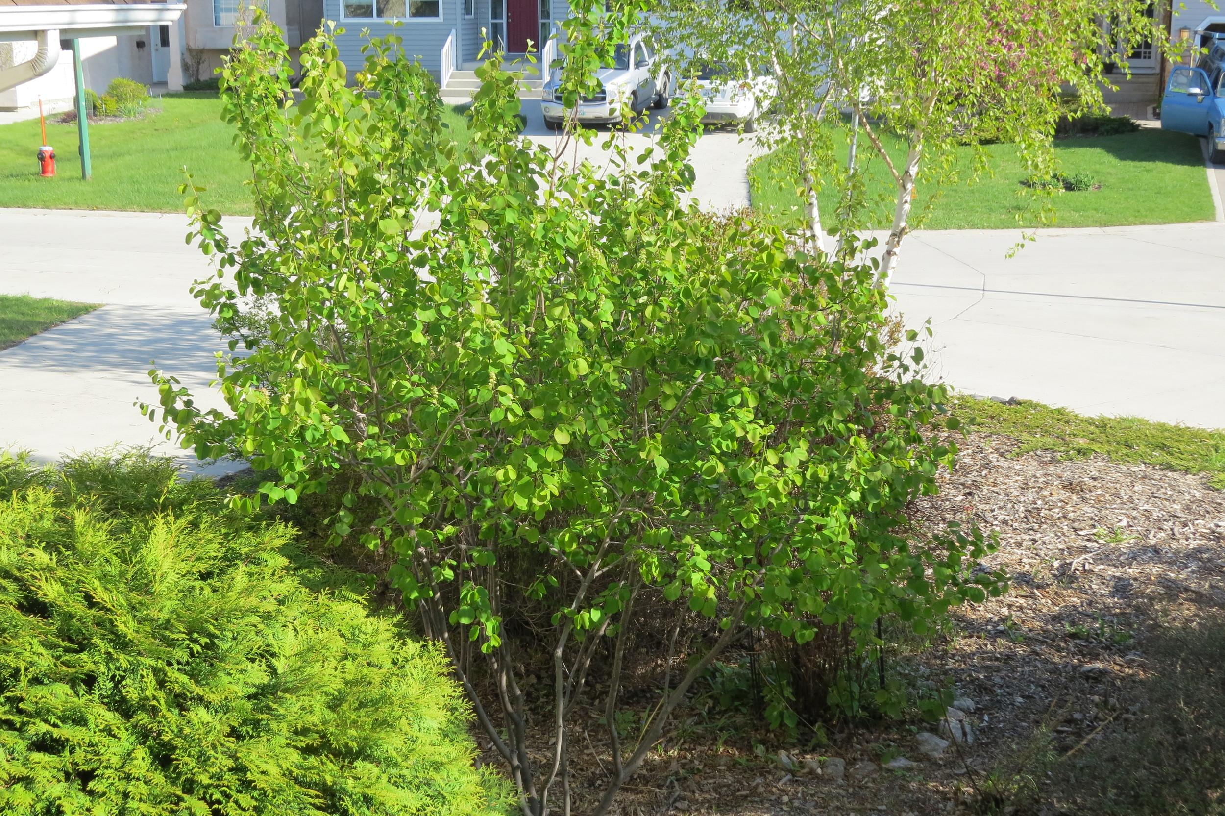 One of our saskatoon bushes.