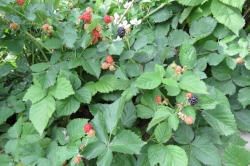 Our blackberry bushes are hands down my favourite. They grow effortlessly and produce just enough to eat the whole bounty with no freezing. Great served as part of breakfast or on a salad.
