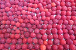 One of the three trays I prepare every few days during raspberry season. We set them up on trays for easy freezing so that the berries don't clump together. Mr. F2P loves to put a handful of frozen berries on his salads.