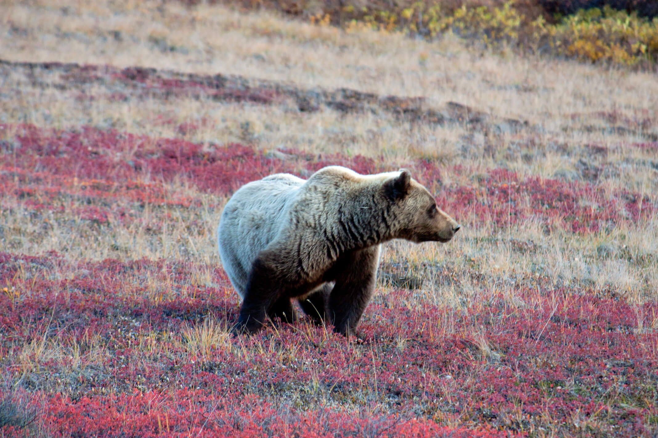 Local Griz searching for berries.