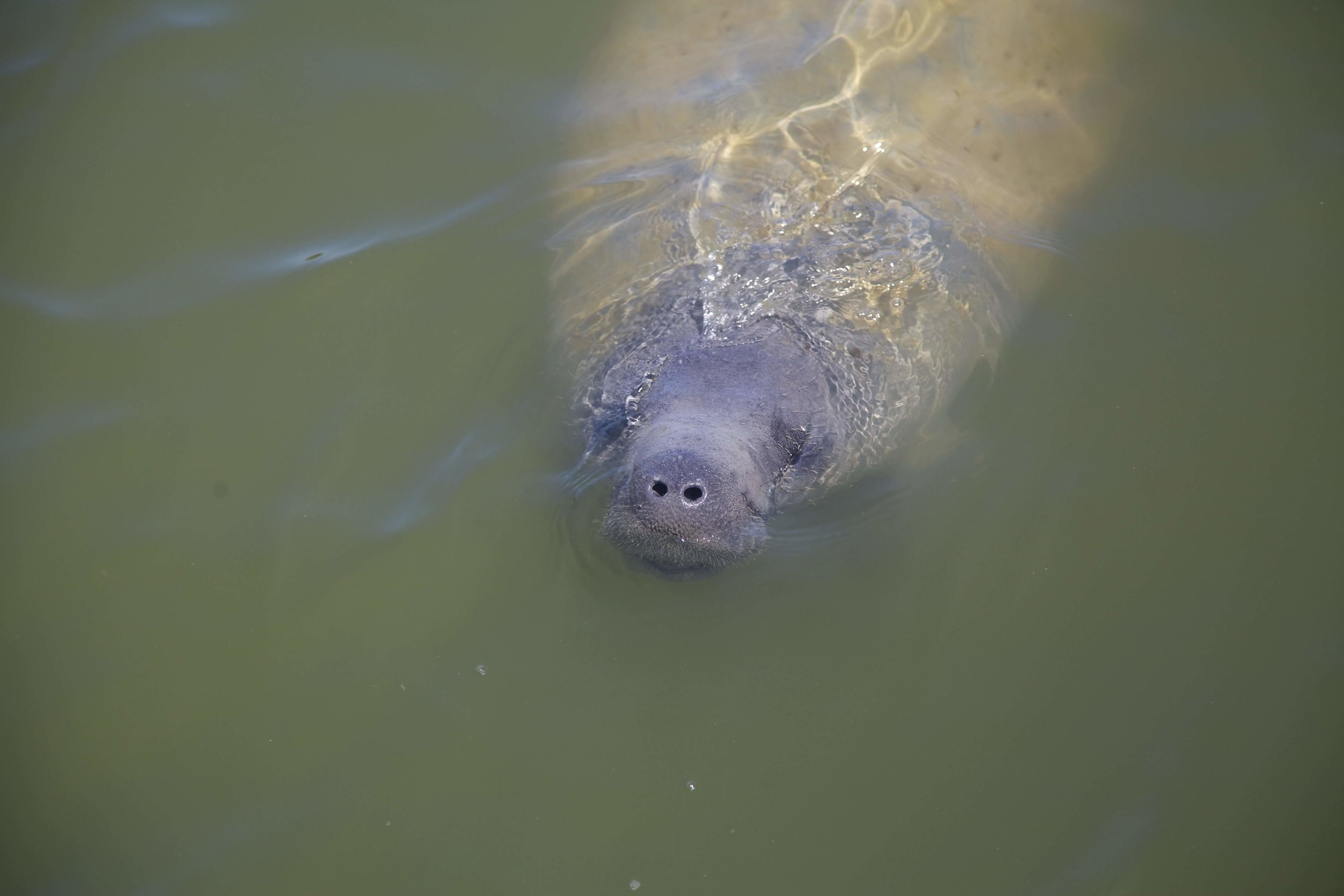 This baby manatee followed Terry around the dock at Flamingo.