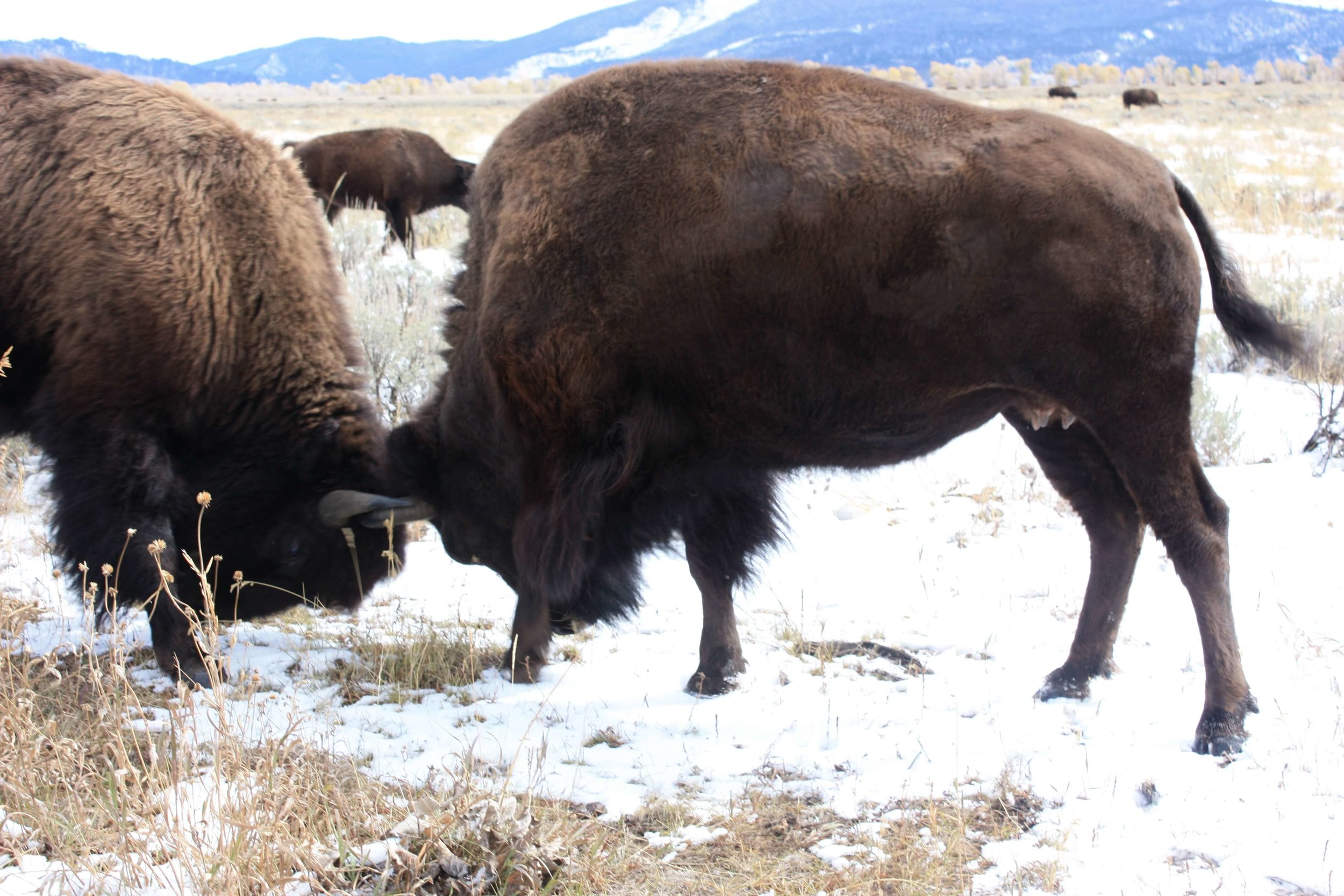 Head-butting bison