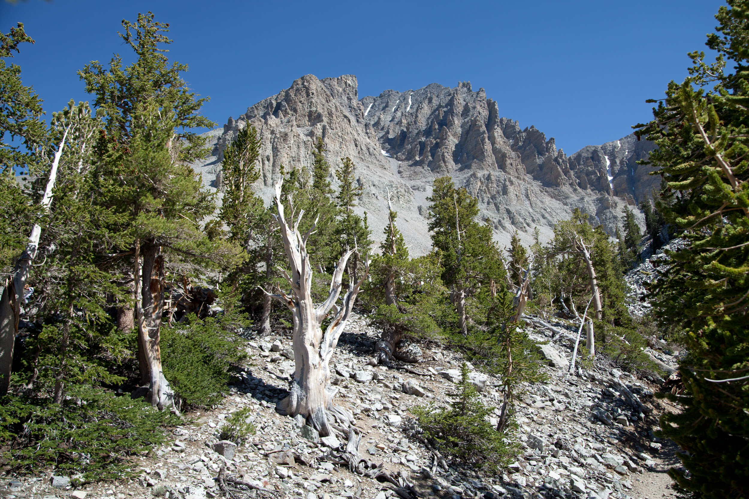 Bristlecone Pine forest and Wheeler Peak in the background