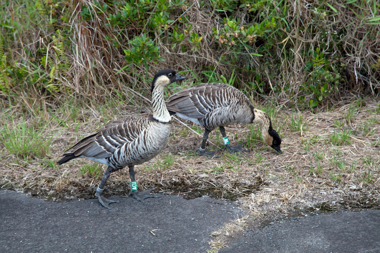 NeNe - official bird of the state of Hawaii.
