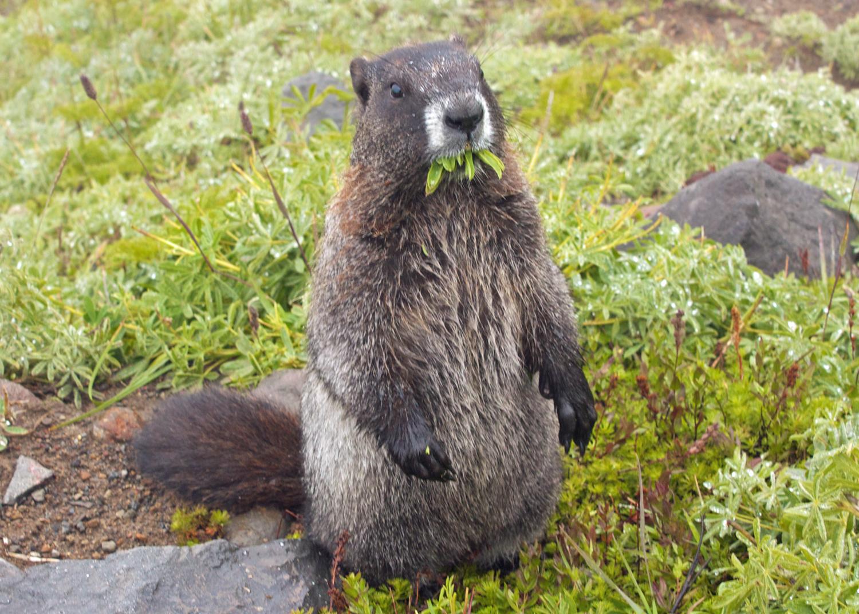 Marmot munching local grasses