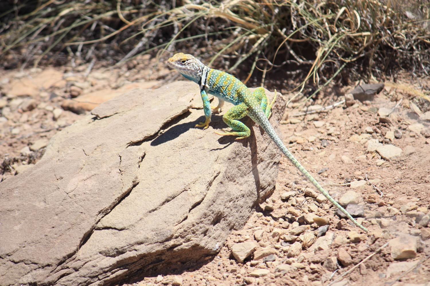 Local resident of the Petrified Forest