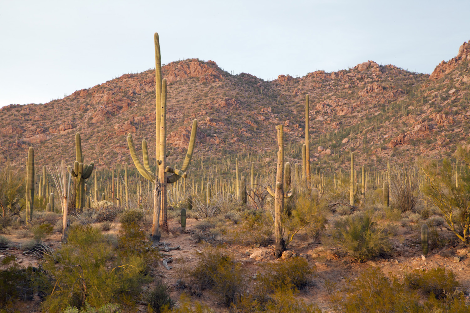 Saguaro Forest just outside the Red Hills Visitor Center - West District.