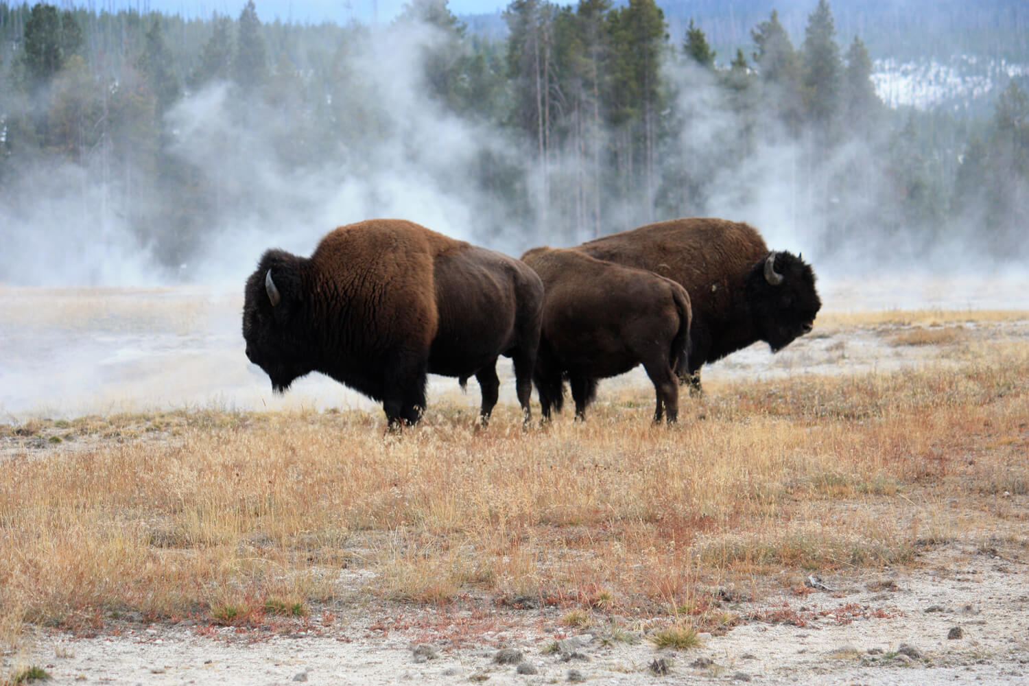 Bison roam freely throughout the park.