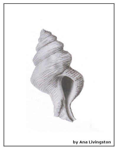 shell-two-charcoal-pencil-on-paper-ana-livingston-fine-artist.jpg