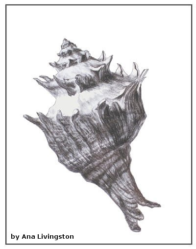 shell-three-charcoal-pencil-on-paper-ana-livingston-fine-artist.jpg