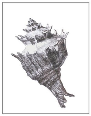 """""""Shell Three"""", Charcoal on Paper, 11""""x14"""""""