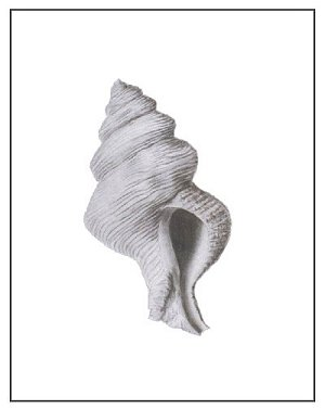 """""""Shell Two"""", Charcoal on Paper, 11""""x14"""""""