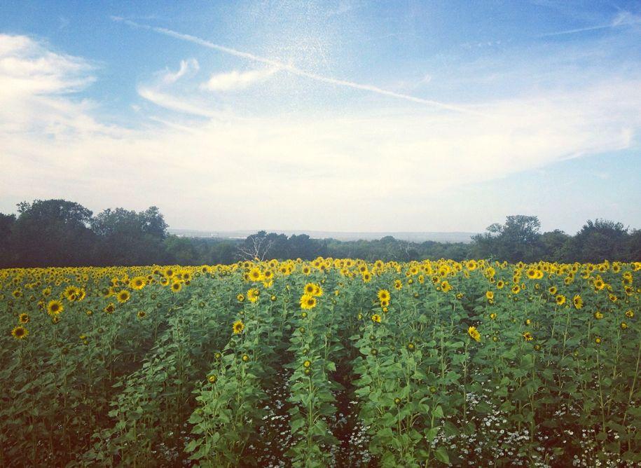 Surrey sunflower field.