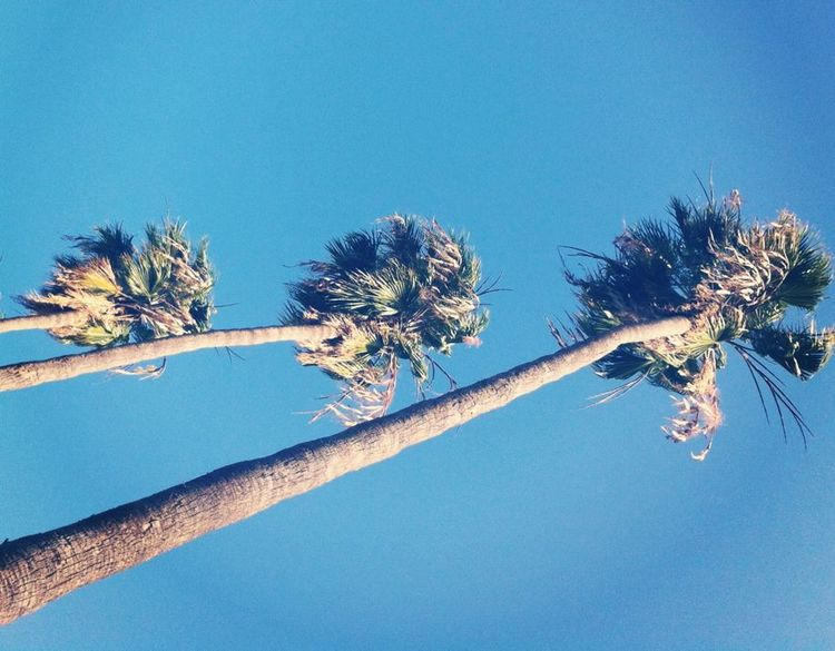Palms of Hollywood.