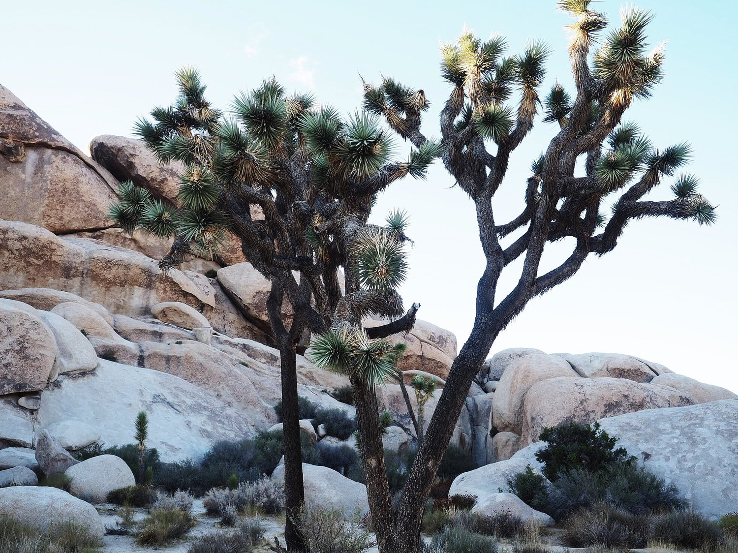 CAMPING WITHIN THEJOSHUA TREE NATIONAL PARK -