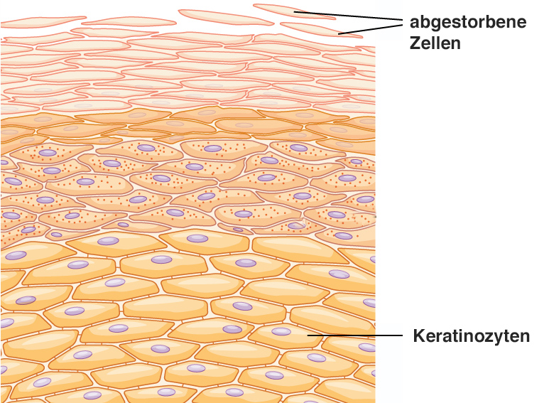 502_Layers_of_epidermis copy.jpg