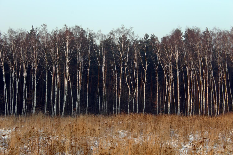 Sad Birches