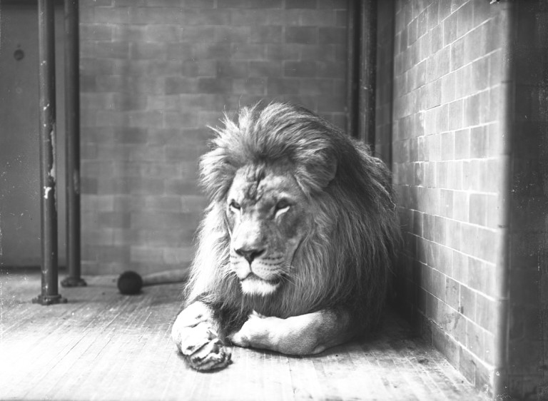 """Barbary lion Sultan in the Bronx Zoo's Lion House, April 1903. Photo ©WCS   Now extinct in the wild, Barbary lions once roamed North Africa. Sultan was one of the most famous animals in the early Bronx Zoo. He was among the earliest residents of the Bronx Zoo's Lion House and a popular subject for artists and sculptors. According to the society's November 1914 Bulletin, Sultan had a """"particularly fine mane of rather a dark hue, which pleases the sculptors and painters because it is not too abundant, and does not mask the muscles of the shoulder."""""""