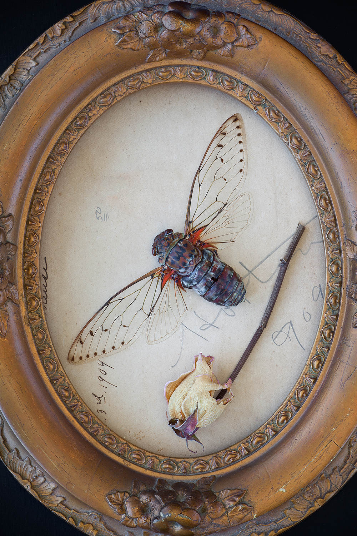 Natura Mortalis (Cicada)