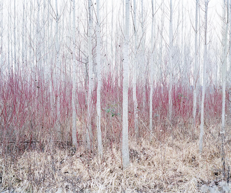 Red Bushes, Near Nadap, Hungary, 2012