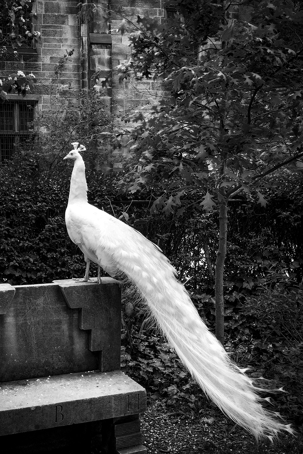 White Peacock in the Garden, NYC, 2018 ,  Frank Mullaney
