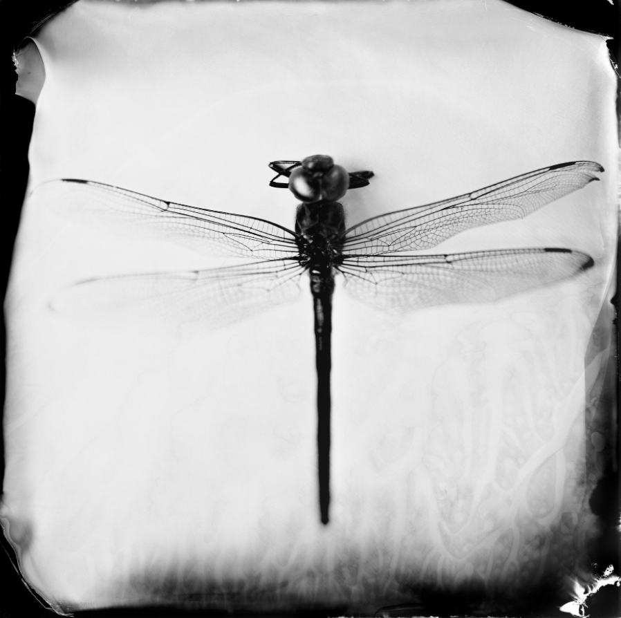 Odonata Epiprocta (dragonfly), 19th century . Photo:  Christa Bowden