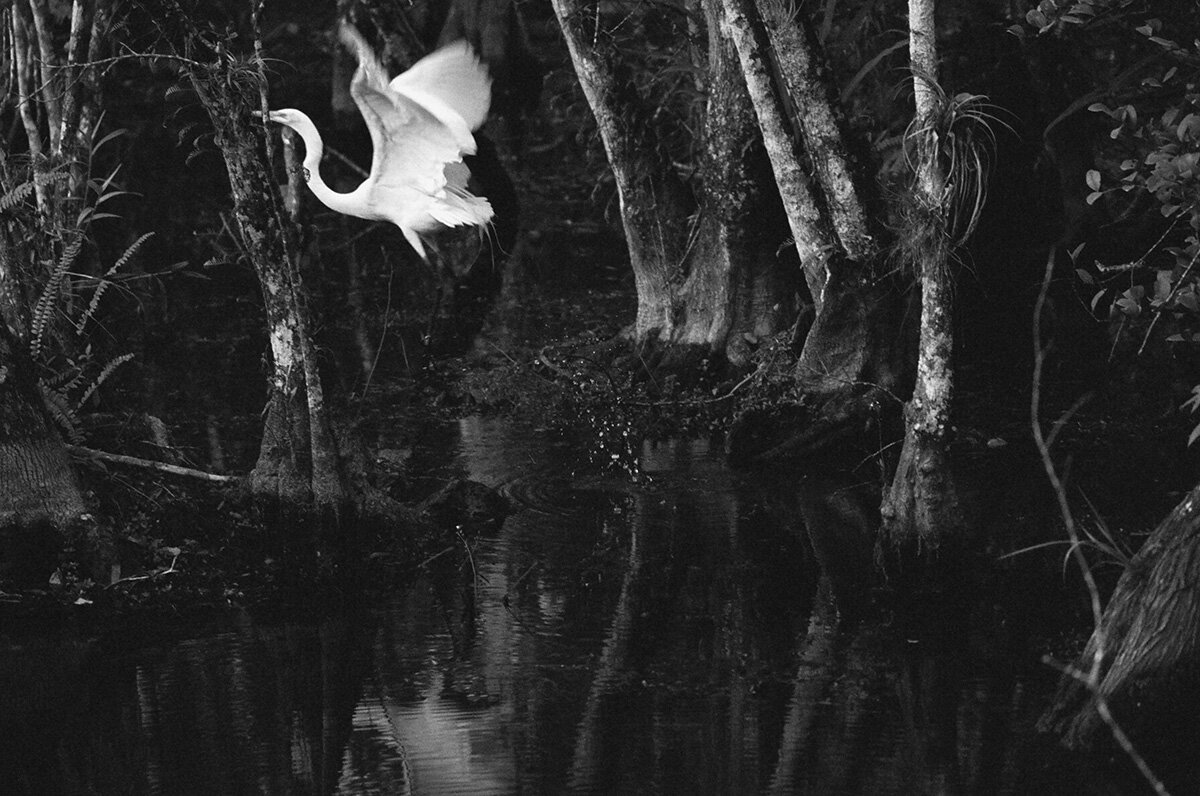 Great Egret, a clatter of wings, she flies away from hunting ,  Jonathan Levitt