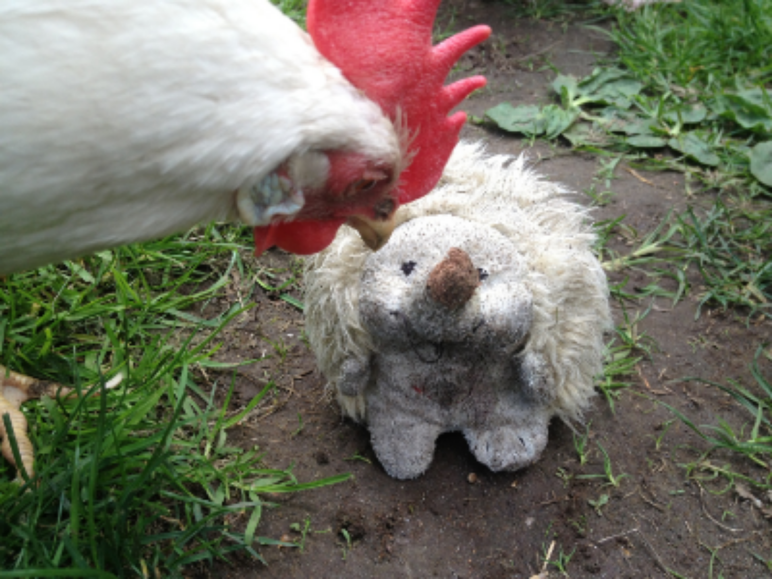 This is my late hen, Alice, passing on dangerous secrets to Hedgehog, shortly before being eaten by the bandit, Racoon.