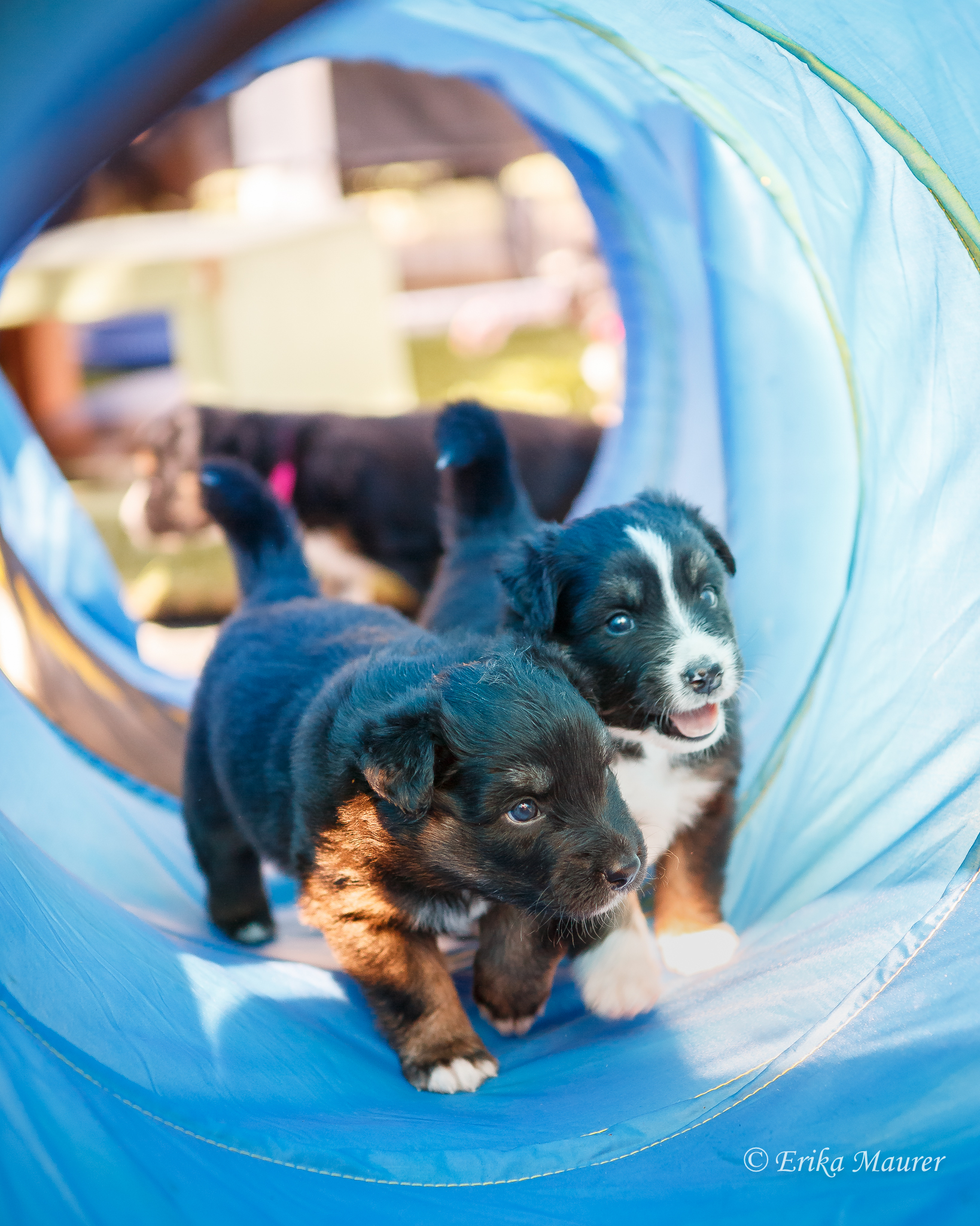 Mr Green and Electra show off their puppy recall through the tunnel