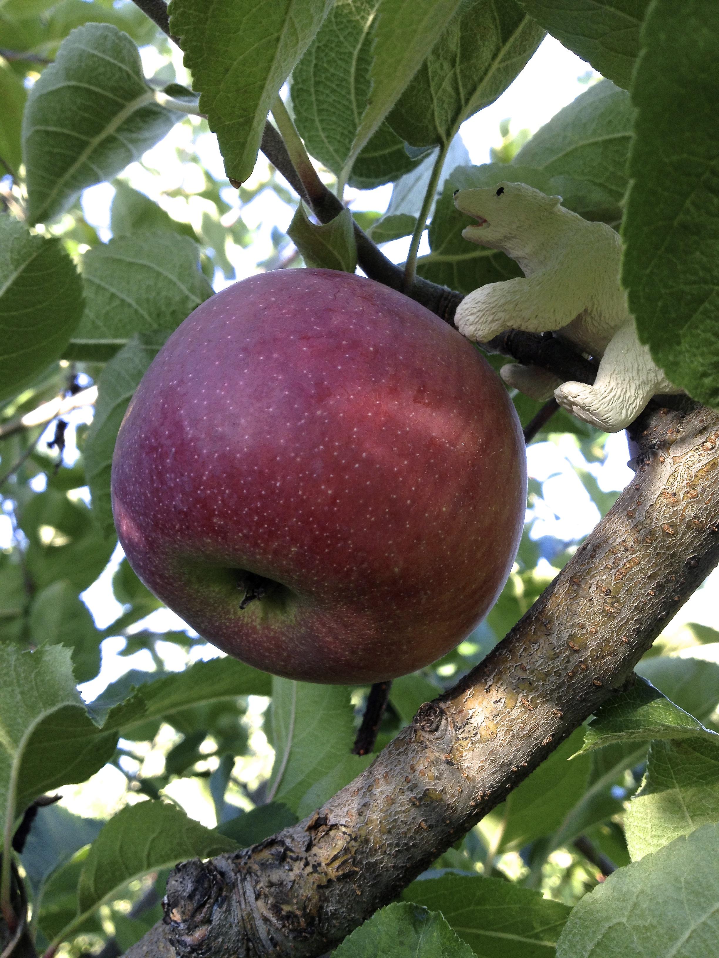 apple-beaut