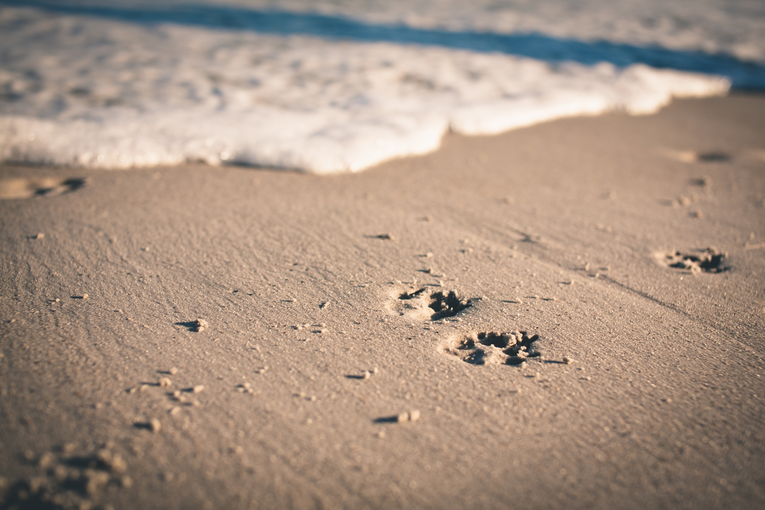 Pet Portraits - Paw Prints in the Sand