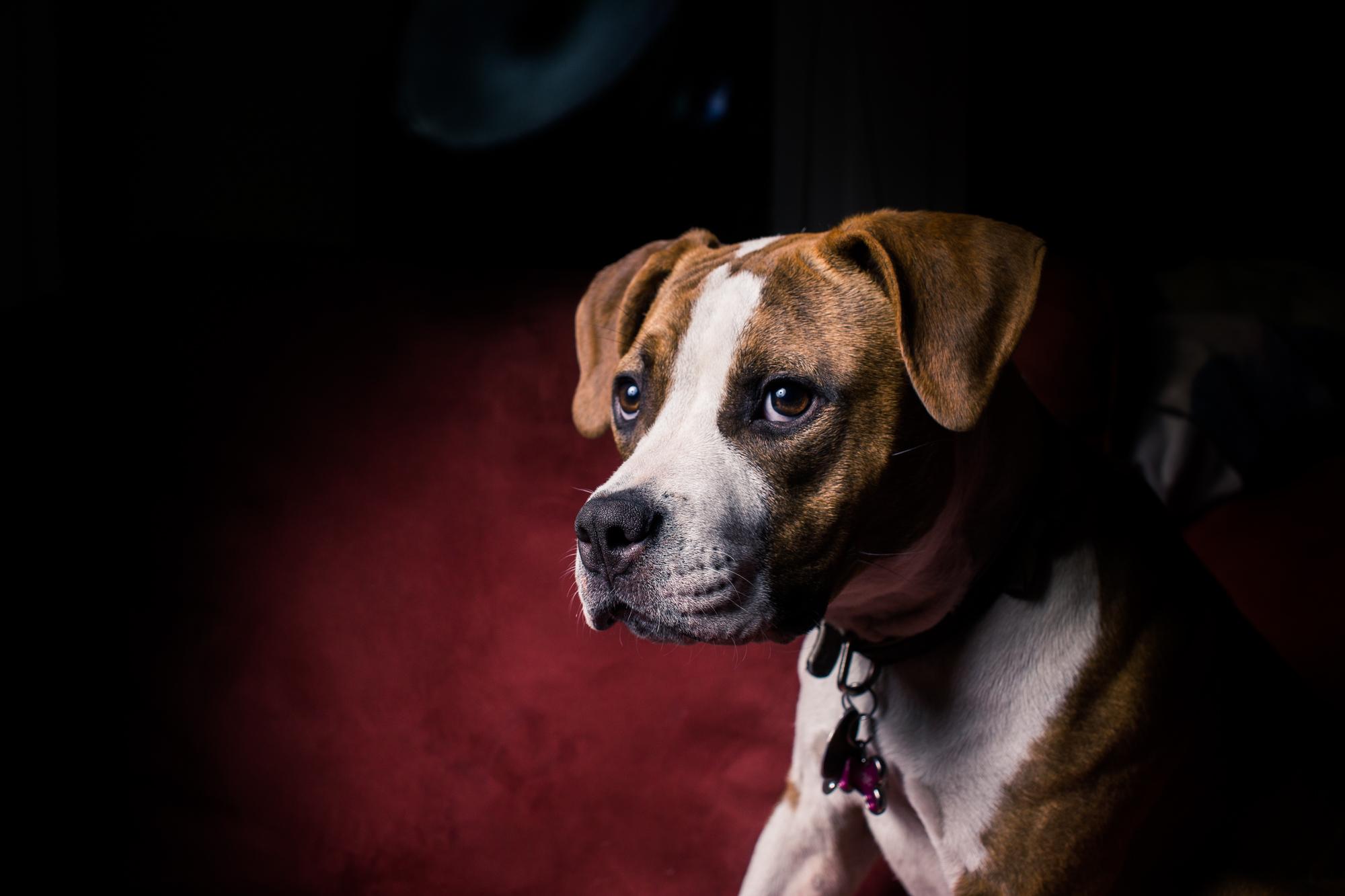 Pet Portraits - Puppy