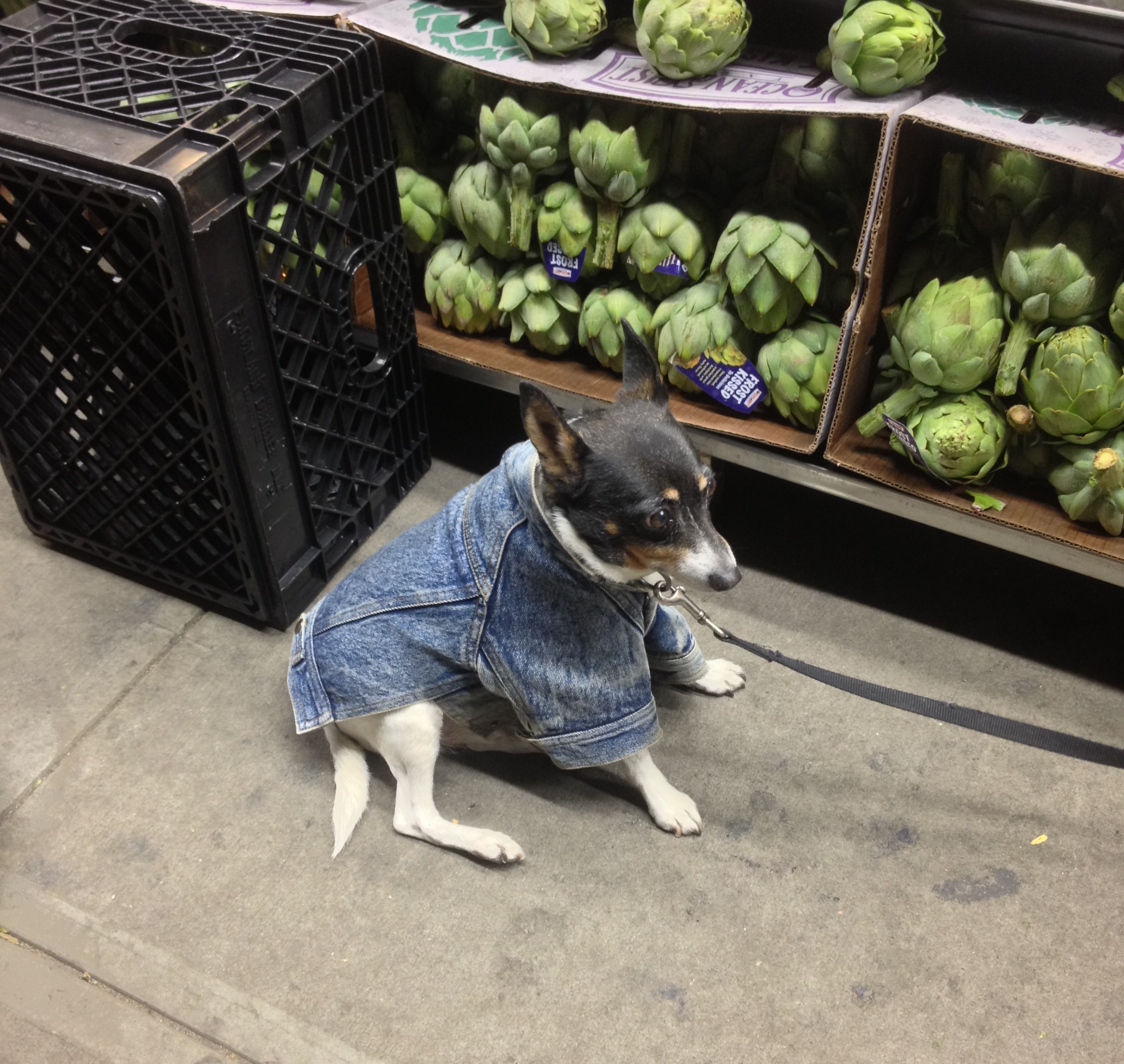 denim dog