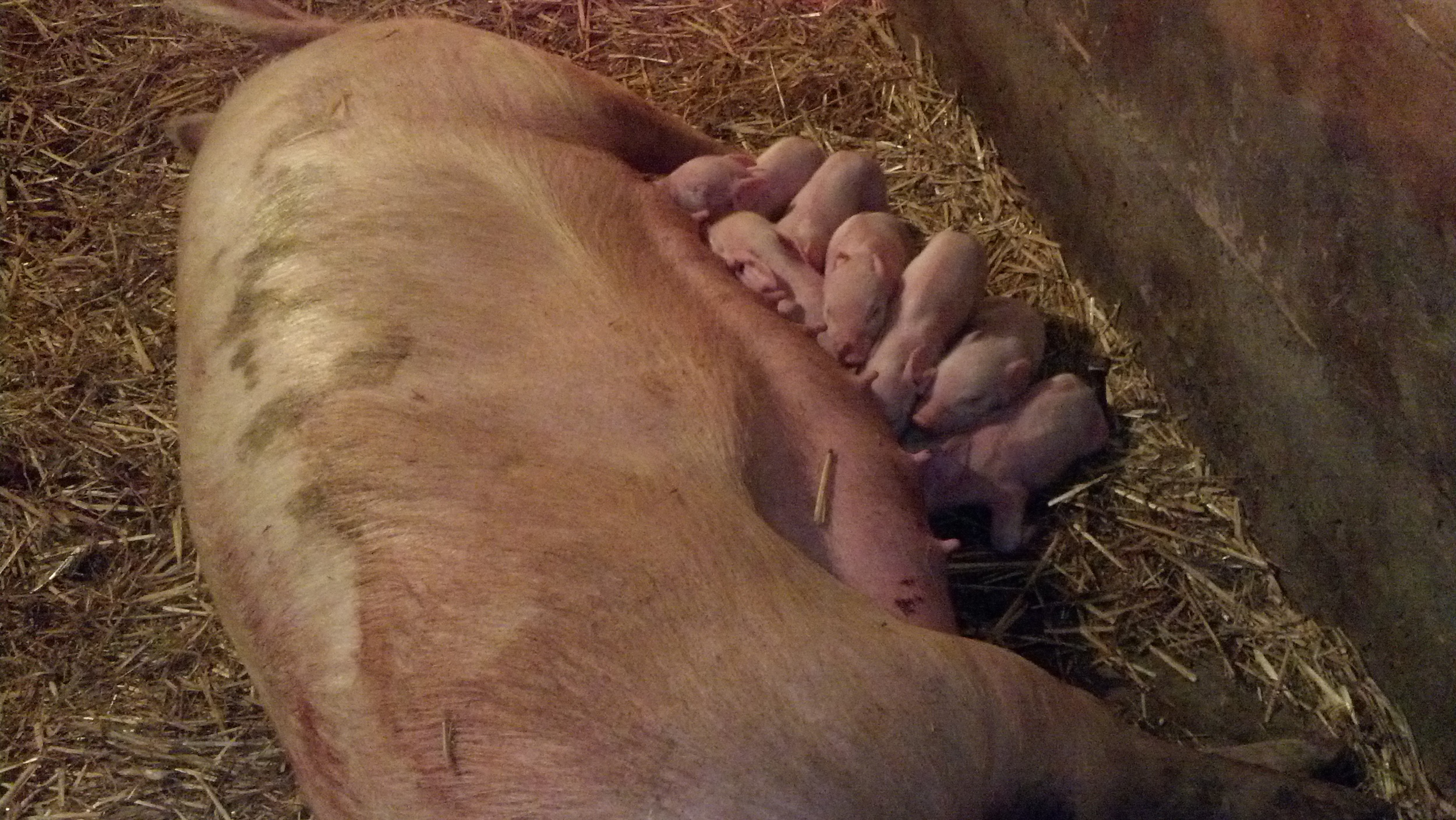 Our mama pig with piglets . . .