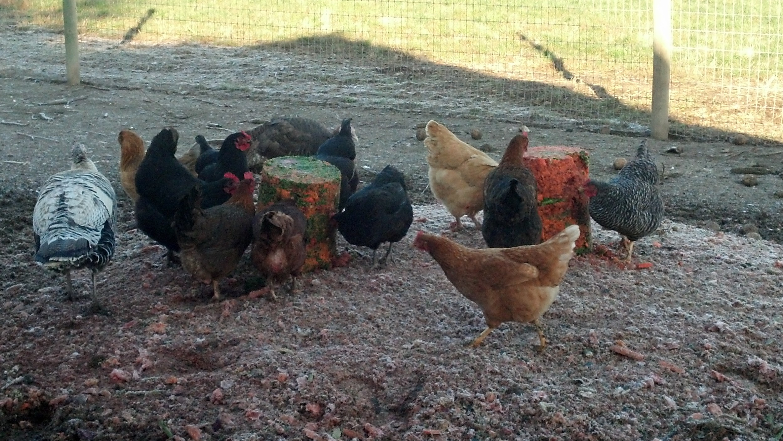 Turkeys and chickens enjoying a bucket of juice pressings from our friends at  Portland Juice Press  before being turned out to range in the grass field.