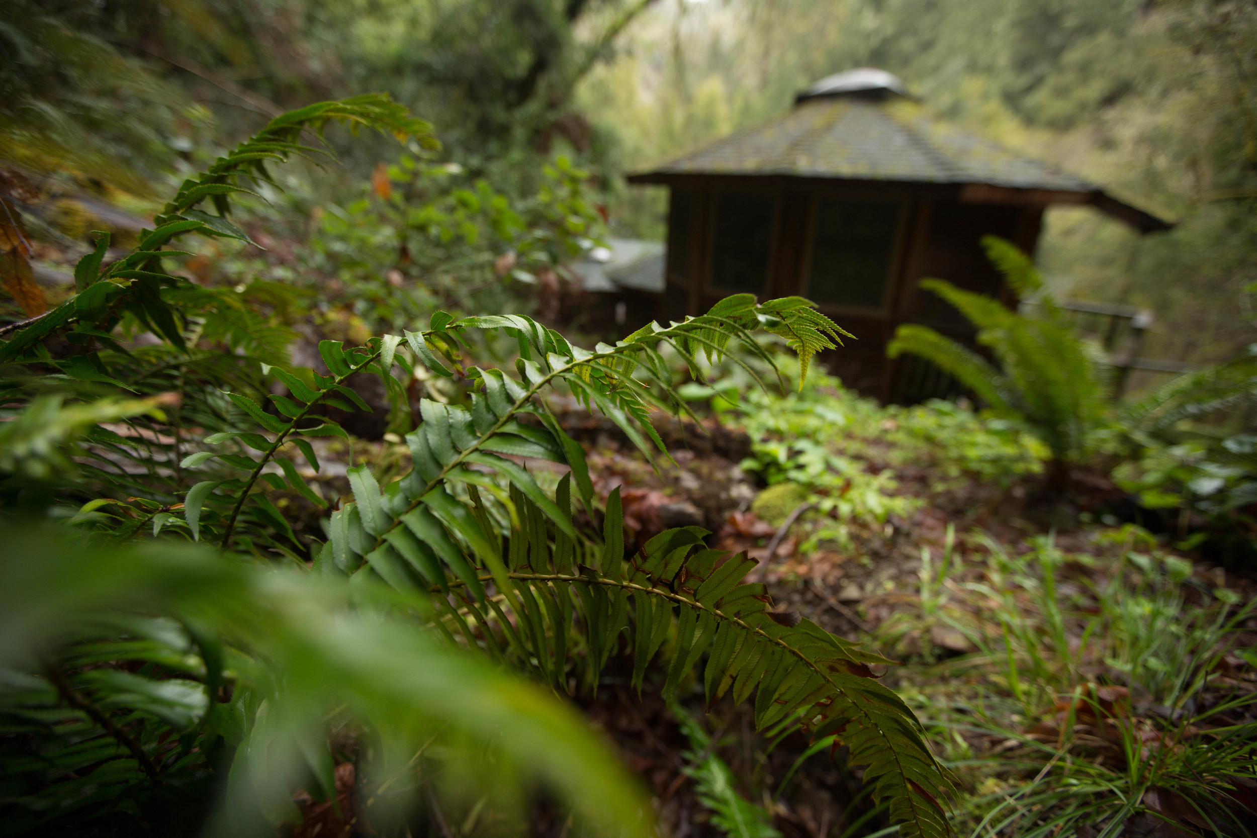 The yurt that we slept in, surrounded by ferns, redwoods and moss.