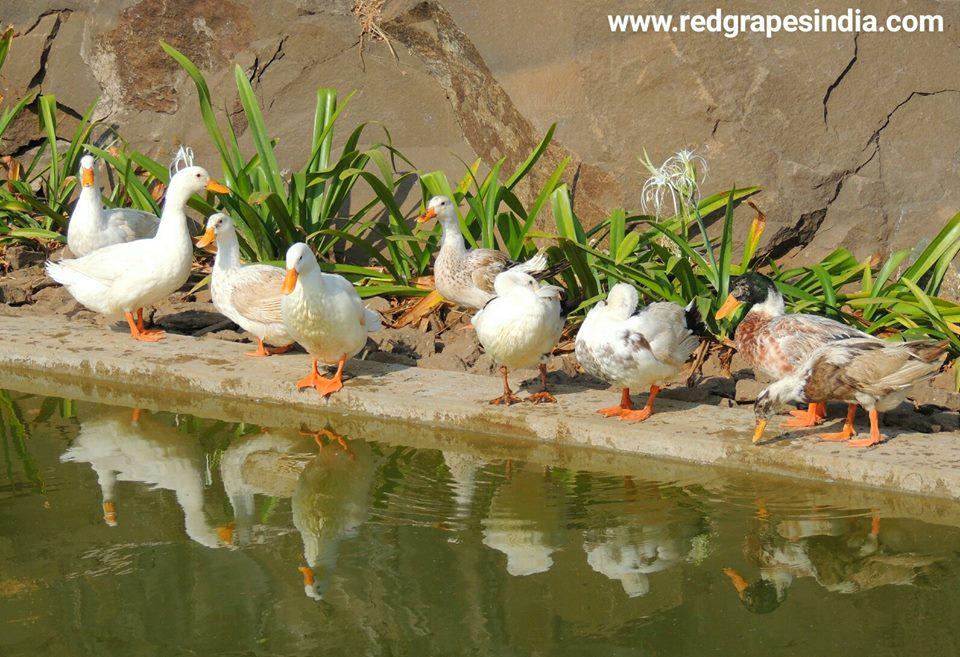 Beautiful white ducks on 26th Jan Republic day celebration at Wine information center by Red Grapes at Wine park, Vinchur, Nashik, Maharashtra, India